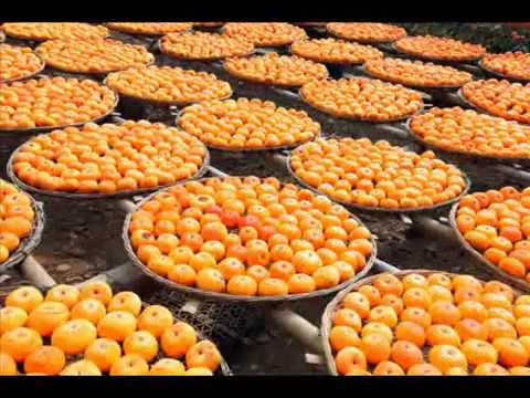 Persimmon Harvest Season at Gongcheng,Guilin桂林恭城柿子节