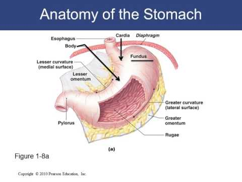 Stomach and Small Intestine