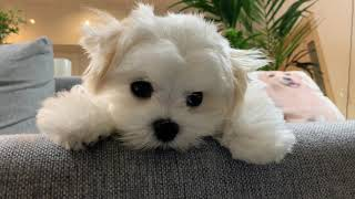 Can you believe?!  Five months old Maltese did not cry at the doctor! Cutest puppy ever