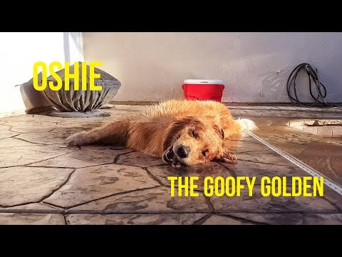 OSHIE THE GOOFY GOLDEN | Oshies World