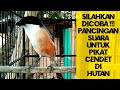 Pancingan Suara Pikat Cendet Di Hutan  Mp3 - Mp4 Download