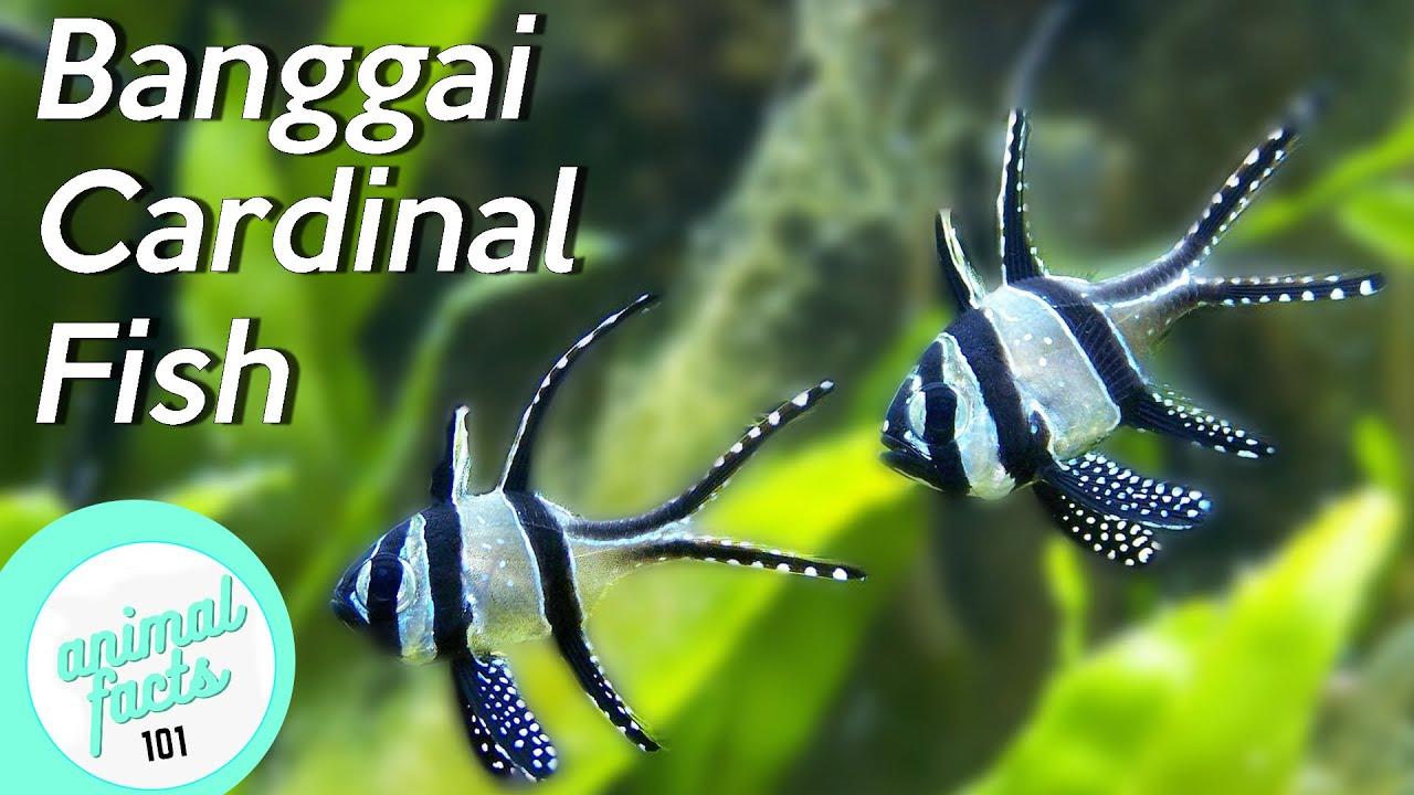 Banggai Cardinalfish • All about this endangered fish