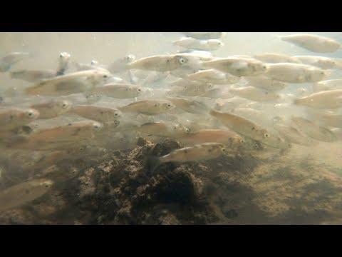 都内の川に水中カメラ沈めた結果【ハゼを観察したい】