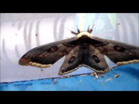 Saturniidae showcase (moths)