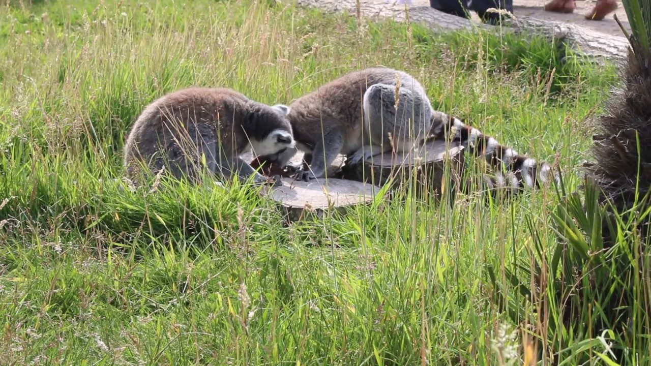 Lemurs loving ice treats on hottest day of the year 2019 | Twycross Zoo