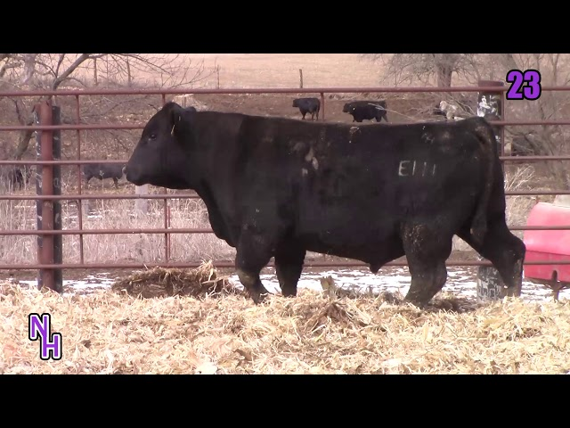 New Haven Angus Lot 23