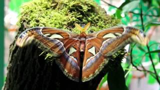 Największy Motyl Świata - pawica atlas (Attacus atlas)