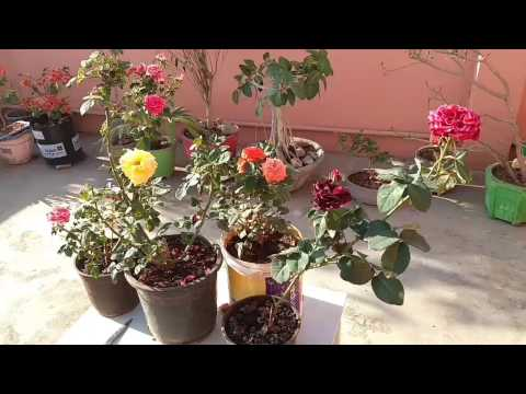 How to care Rose plant in summer , Rose plant care