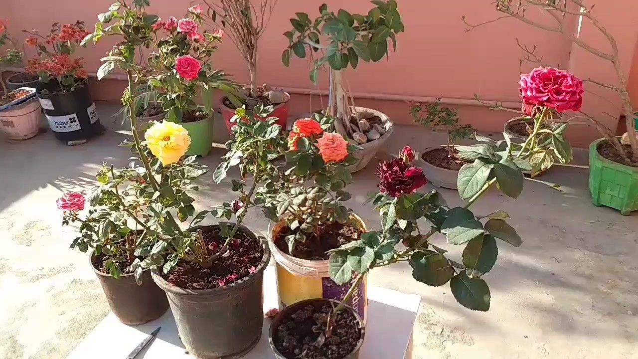 How To Care Rose Plant In Summer Rose Plant Care Youtube