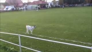 Koza na boisku w Dziewiętlicach (A goat on the pitch)