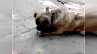 Порода собаки, по имени Цезарь, сосёт.