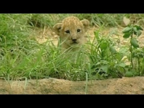 Baby lion cubs: Cali zoo in Colombia welcomes three lion cubs