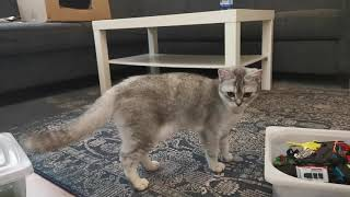CAT'S MEAL TIME (British Shorthair Cat)