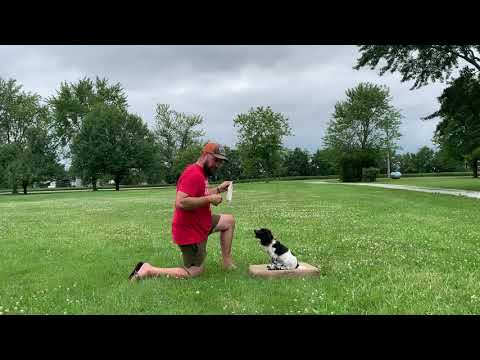 Field Bred English Cocker Spaniel Puppy  Place Board Training and Retrieving