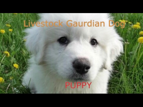 Livestock Guardian Dog Great Pyrenees PUPPY
