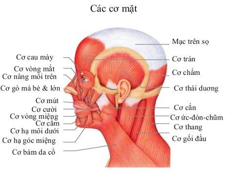 Giải phẫu Hệ cơ (Clip 2)