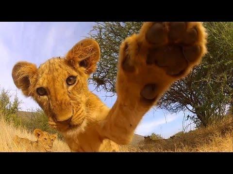 GoPro  Lion Cub Roar   TV Commercial