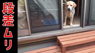 段差が怖くてなかなか下に下りられないラブラドールレトリバーの子犬リ...