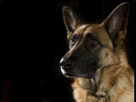 Выбор собаки. Немецкая овчарка. Краткая характеристика породы.