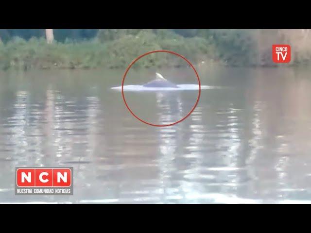 CINCO TV - Apareció un delfín en el Delta de San Fernando y el Municipio colabora en su búsqueda