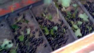 porzeczka czarna 2011 żniwa