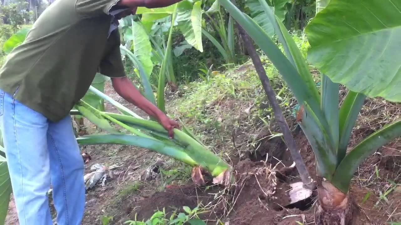 Watch How to Grow Taro video