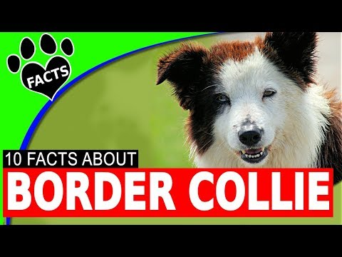 Cool Border Collie Facts Interesting Dogs 101- Animal Facts