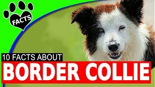 Border Collie Dogs 101