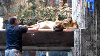 MGM Grand Lion Habitat #2