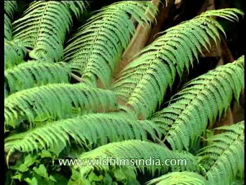 Ferns in the forest of Arunachal Pradesh