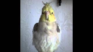 Видео попугаев корелла(Имя. Маруся у меня дома., 2015-09-28T13:33:31.000Z)