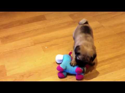 Cute as a cartoon funny pug