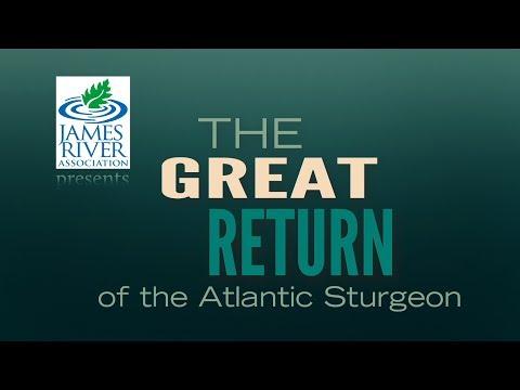 The Great Return Of The Atlantic Sturgeon