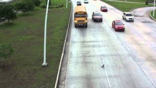Crazy Duck Tries to Walk Across HIGHWAY!  Will it Survive!??
