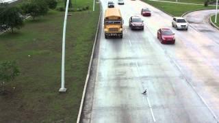 Crazy Duck Tries to Walk Across HIGHWAY!  Will it Survive!??