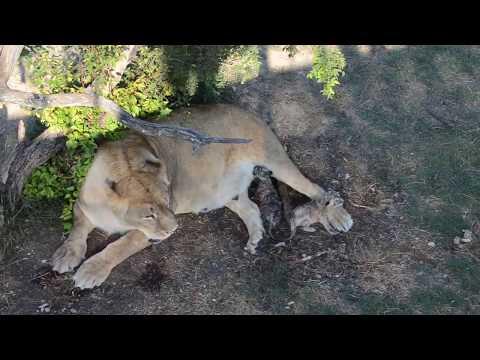 НЕ МОЖЕТ БЫТЬ !!! 25  летняя львица Клеопатра РОДИЛА ДВОЙНЮ !!!