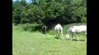 Goldleaf Arabian Stud Mares 'Living Naturally' in Middle Meadow Thumbnail