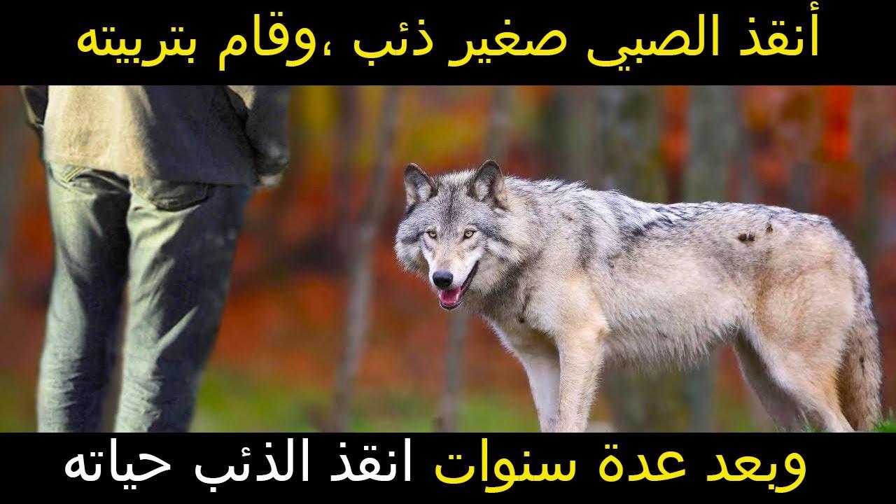 أنقذ الصبي صغير ذئب وقام بتربيته وبعد عدة سنوات رد له الجميل