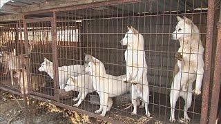Выращенных для забоя собак спасли в Южной Корее (новости)