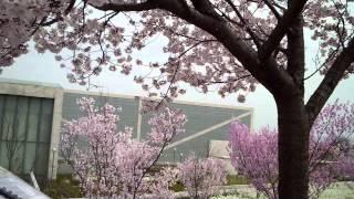 撮影日:2014.3.29 場所:大阪狭山池堰堤 今回はスライドショーにしました。 動画のやつはまた撮り直します。