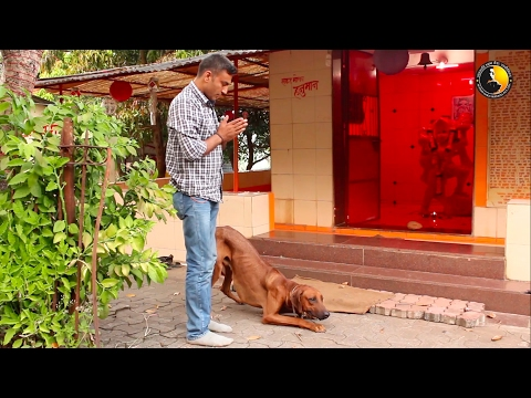 Rhodesian Ridgeback journey by Action Dogs