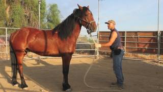 Training a wild mustang horse ~ groundwork in the first 30 days