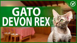 Características y Personalidad del Devon Rex  Conoce Todo Sobre Estos Gatos