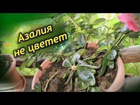 Азалия не цветёт и сбрасывает листья. Что делать? Проблемы при выращивании растения!