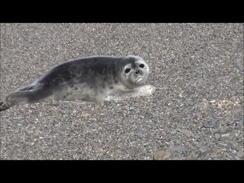 My First Day In Nome Alaska: Baby Seal, Beaver, History and GOLD!