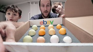 The MOST we've spent on eBay chicken eggs.