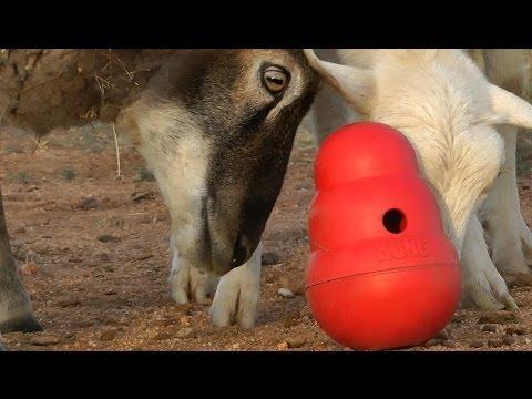 Sheep play, too! (Sheep vs. Kong Wobbler)