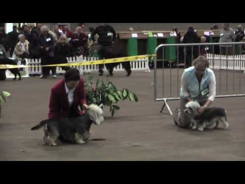 Dandie Dinmont Terriers at Scottish Breeds 2009  part 2
