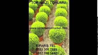 Top mazı tohumu TOP MAZI TOHUMU top mazı tohumu satış top mazı tohumu fiyatı TOP MAZI