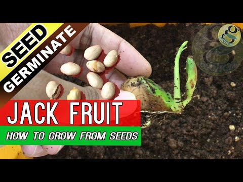 How To Grow Jackfruit Tree From Seed | Jack Fruit Seed Germi
